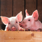 EU Commission: Spread of African Swine Fever in Bulgaria 'Worrying'