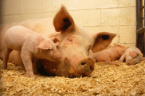 Additional Biosecurity measures in Shumen against African Swine Fever