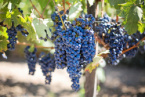 Many Vineyards Affected by Hail before Grape Harvest