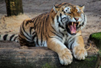 A 2-Year-Old Child Was Attacked by a Tiger at a Thai Zoo