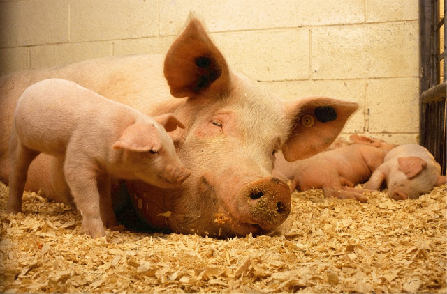 Bulgaria: Additional Biosecurity measures in Shumen against African Swine Fever