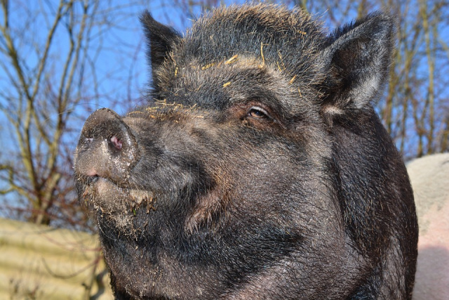 Bulgaria: A New Case of African Swine Fever in Plovdiv and Lovech