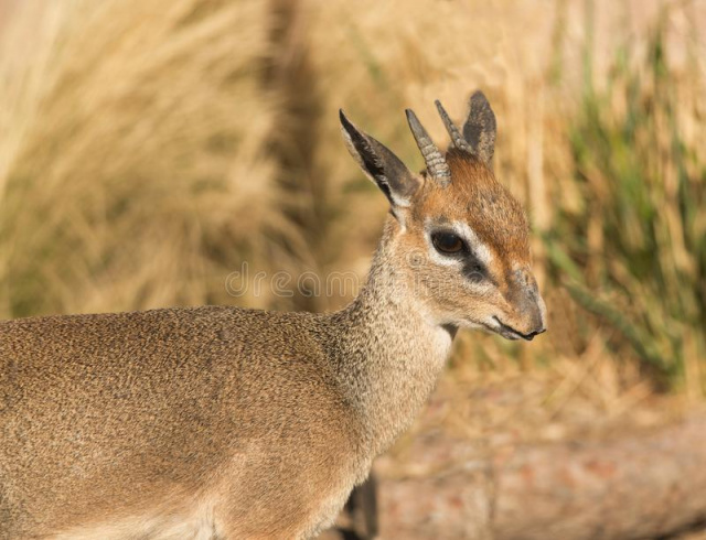 Bulgaria: Dik-Dik Antelope is the Latest Addition to the Sofia Zoo
