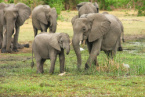 At Least 55 Elephants Died of Starvation in just Two Months in Zimbabwe