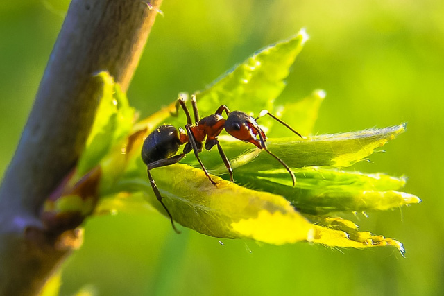 Bulgaria: The Fastest Ant on the Planet Travels Nearly a Meter in a Second