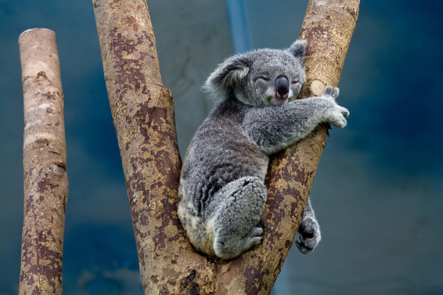 Bulgaria: Fires Have Killed Half the Koalas from a Reserve in Australia