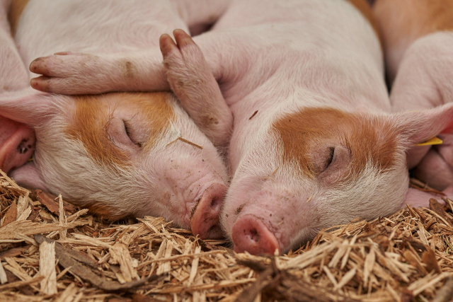 Bulgaria: The First Hybrids between a Pig and a Monkey were Born in China
