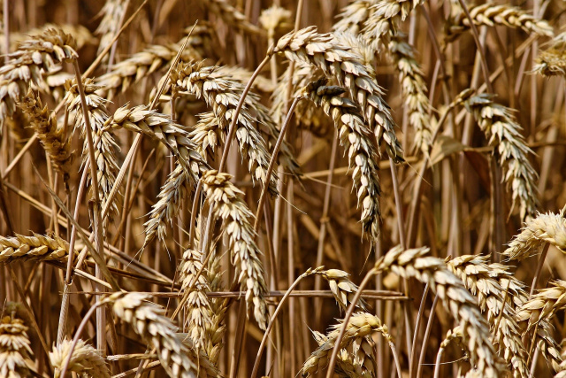Bulgaria: Scientists: Climate Change Threatens Grain Production