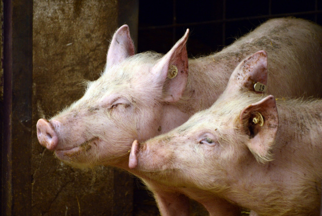 Bulgaria: Varna Region: More than 40,000 Pigs will be Put Down due to ASF