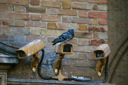 India: A Pigeon Has Been Arrested And Accused of Being a Pakistani Spy