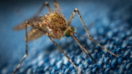 Italian Scientists: A Mosquito Cannot Infect Us With a Coronavirus