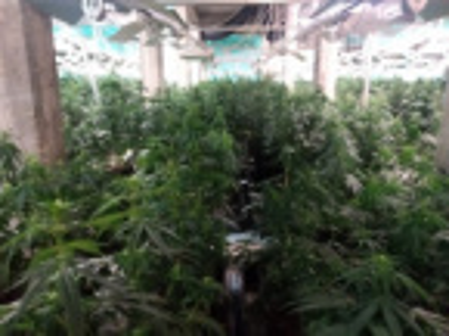 Bulgaria: Marijuana Farm Found in Lukovit, Three Men Arrested