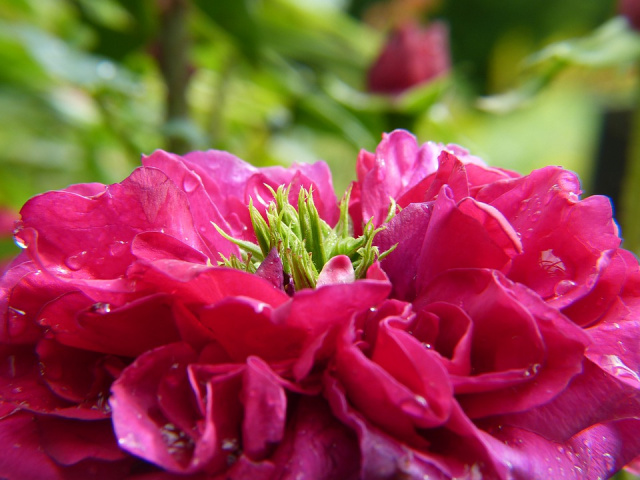Bulgaria: Over Third of Rose Plantations in Bulgaria Could Remain Unharvested