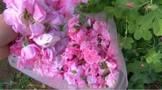 Bulgaria: Bulgarian Rose Growers Destroy Plantations of Rosa Damascena in Protest