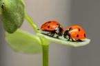 Invasion of Ladybugs on the North Black Sea Coast